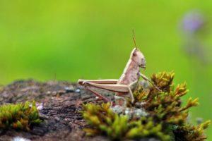 Hingersnot droht wegen Heuschreckenplage in Ostafrika
